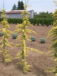 Cedrus atlantica 'Glauca Aurea' Golden Blue Atlas Cedar