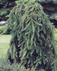 Picea abies 'Pendula' Weeping Norway Spruce Tree