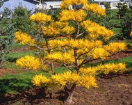 Pinus virginiana 'Wate's Golden'