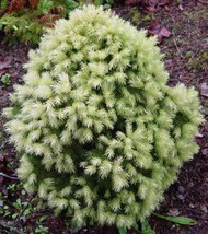 Picea glauca 'Daisy's White' Dwarf White Tipped Alberta Spruce