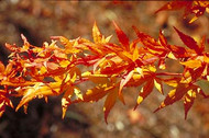 Acer palmatum 'Japanese Sunrise' Japanese Maple Tree