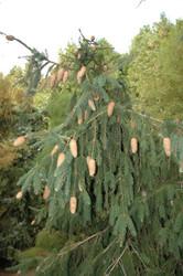 Picea abies 'Acrocona' Norway Spruce