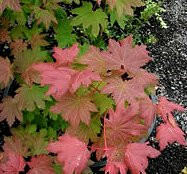 Acer circinatum Vine Maple