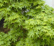 Acer palmatum 'Aoba jo' Japanese Maple Tree
