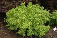 Acer circinatum 'Little Gem' Japanese Vine Maple