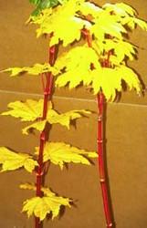 Acer circinatum 'Pacific Fire' Vine Maple