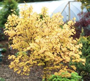 Acer circinatum 'Sunglow' Vine Maple