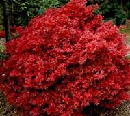 Acer palmatum 'Shaina' Japanese Maple tree