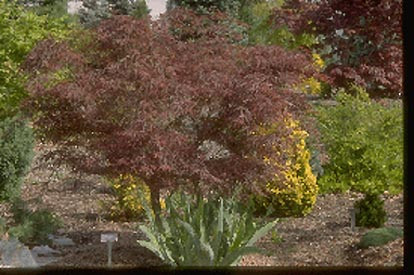 Acer palmatum 'Red Pygmy' Dwarf Japanese Maple Tree