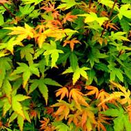 Dwarf Coral Bark Maple