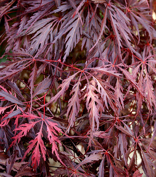 acer palmatum dissectum 39 garnet 39 cutleaf japanese maple kigi nursery. Black Bedroom Furniture Sets. Home Design Ideas