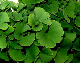 ginkgo biloba 39 mariken 39 dwarf maidenhair tree kigi nursery. Black Bedroom Furniture Sets. Home Design Ideas