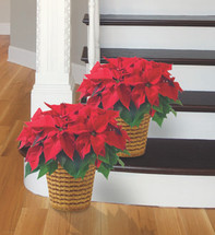 "6"" Poinsettia Plant Package"