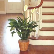 "PEACE LILY FLOOR PLANT 10""D"