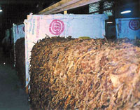 curing-tobacco-in-pilon.jpg