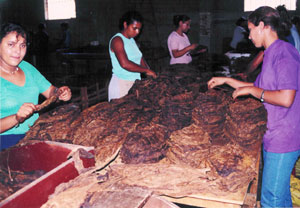 ladies-selecting-tobacco.jpg