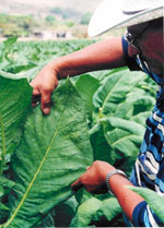 man-picking-tobacco-leaf.jpg