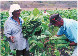 picking-tobacco-in-field2.jpg