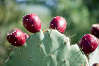 PRICKLY PEAR SEED OIL - SAMPLE