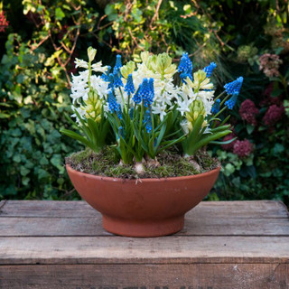 Muscari And Hyacinth