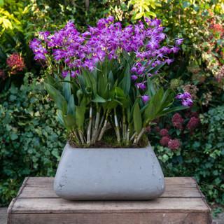 Stunning Dendrobiums