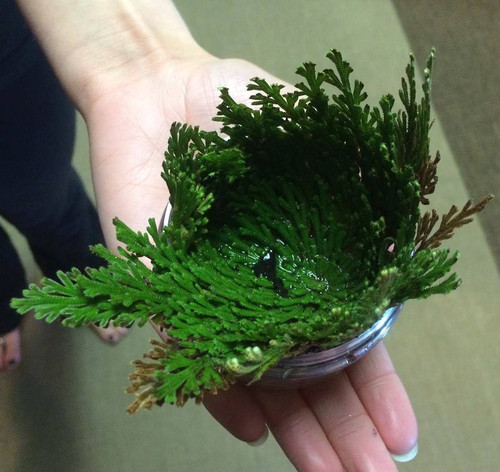 Rose of Jericho . Money, Success, Wishes, Blessings