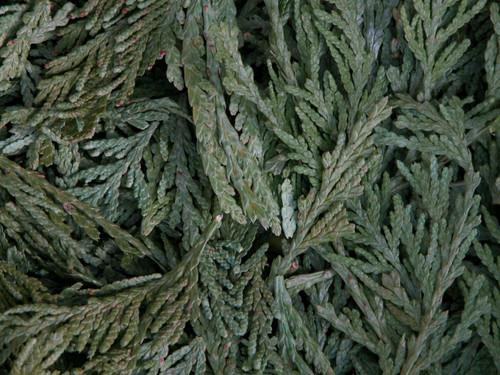 Cedar Tips  ~ Herbal Alchemy