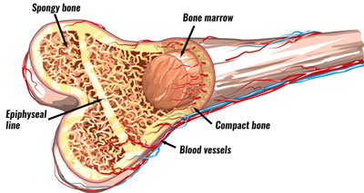 The Anatomy of a Human Bone