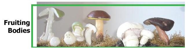 Whole Fruiting Body Mushrooms