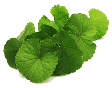 The Gotu Kola Plant