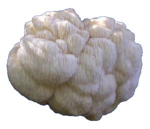 Lion's Mane Mushroom Fruiting Body
