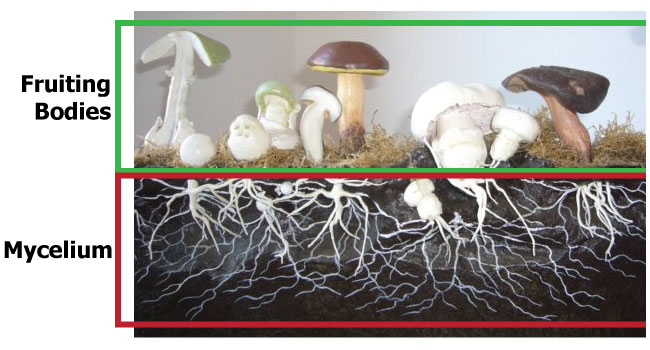 mycelium-vs-fruiting-bodies2.jpg