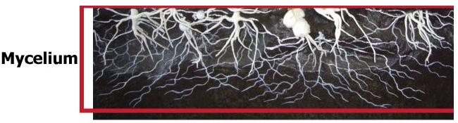 Mycelium On Grain