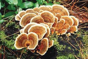 Turkey Tail Mushroom in Nature