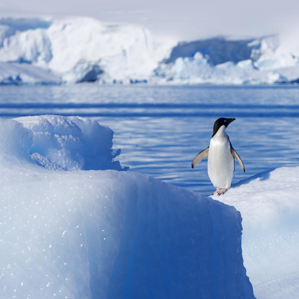 Penguin in Antarctic