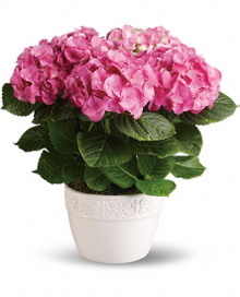 Hydrangea pink plant delivered by Swedish florists.