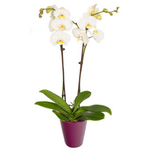 White orchid plant Phalaenopsis for shipping anywhere in Sweden.