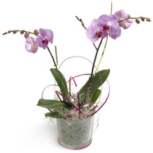 Sweden pink orchid plant for delivery nationwide by local florist shops.