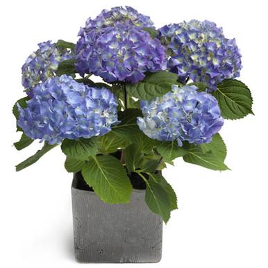 Buy Blue Hydrangea in Sweden.