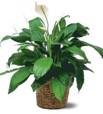 spatyphilium or peace lily plant get it shipped anywhere in sweden.