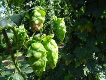 Hop Harvest Beer Tour -- Saturday, July 30, 2022