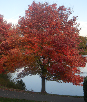 red-maple-ftlombardo.png