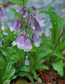 "Penstemon ""Hairy"""