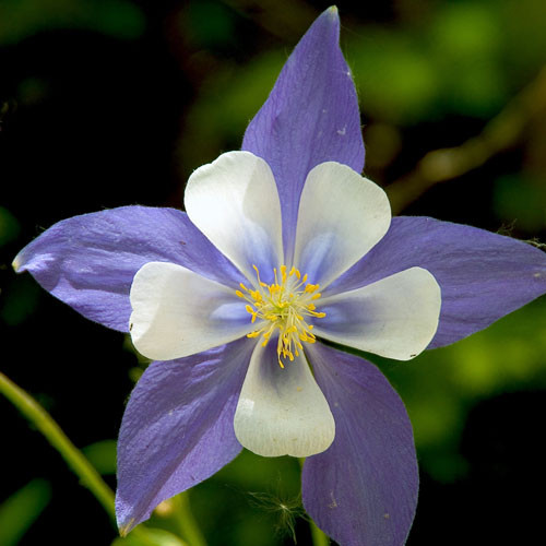 Columbine Floral And Gifts: Flower Essences Of Fox Mountain