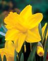 """Daffodil """"King Alfred"""""""