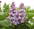 Lilac Double Lavender