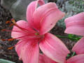 Lily  (Light Pink)