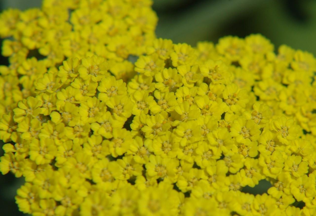 Moonshine Yarrow Flower Essences Of Fox Mountain