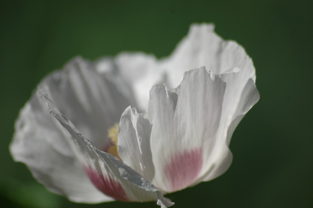 Opium Poppy Flower Essences Of Fox Mountain