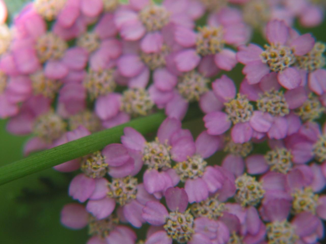Pink Yarrow Flower Essences Of Fox Mountain
